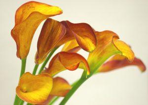カラー 花 ブレーズ