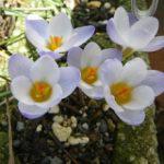 クロッカスの育て方 球根からの育て方から、来年も咲かせる方法を紹介します