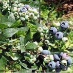 ブルーベリーの育て方について 肥料の与え方・剪定の仕方・増やし方・病害虫対策など、上手に美味しく育てるコツを紹介します