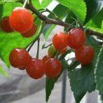 暖地桜桃(さくらんぼ)の育て方について 肥料の与え方・剪定の仕方・病害虫対策など、上手に美味しく育てるコツを紹介します