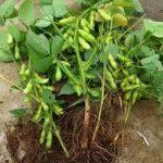 枝豆の育て方について 上手に美味しく育てるコツを紹介します