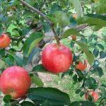 リンゴの育て方について 肥料の与え方・剪定の仕方・病害虫対策など、美味しく、元気に育てるコツを紹介します