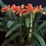クンシラン(君子蘭)の育て方について キレイに咲かせ、元気に育てるコツを紹介します