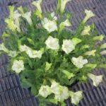 ペチュニアの育て方について 種まきの仕方・肥料の与え方・増やし方・病害虫対策など、キレイに咲かせ、元気に育てるコツを紹介します