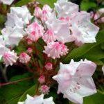 シャクナゲの育て方について 肥料の与え方・植替えの仕方・病害虫対策など、キレイに咲かせ、元気に育てるコツを紹介します
