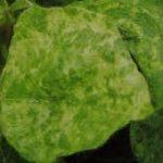 ウイルス病(モザイク病)の退治・駆除・予防の仕方について 農薬を使用しない方法や効果的な農薬・おすすめの方法を紹介します