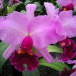 カトレアの育て方について 肥料の与え方・増やし方・きれいに咲かせ方・病害虫対策など、元気に育てるコツを紹介します