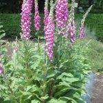 ジキタリスの育て方について 肥料の与え方・増やし方・きれいに咲かせ方・病害虫対策など、元気に育てるコツを紹介します