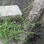 メヒシバの駆除・除草方法について 除草剤を使用しない方法や根まで枯らす方法を紹介します