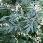 ヨモギの花粉の飛散時期は? アレルギーの症状や対策について紹介します