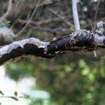 枝枯病の原因や症状について 感染前の予防方法・お勧めの治療方法(農薬)について紹介します