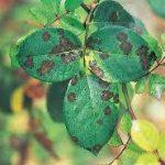 黒星病(黒点病)の原因や症状について 感染前の予防方法・お勧めの治療方法(農薬)について紹介します