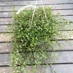 ワイヤープランツの育て方について 肥料の与え方・増やし方・きれいに咲かせ方・病害虫対策など、元気に育てるコツを紹介します