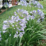 アガパンサスの育て方 球根からの育て方から、来年も咲かせる方法を紹介します