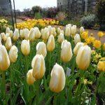 チューリップの育て方について 肥料の与え方・きれいに咲かせ方・球根からの育て方から、来年も咲かせる方法を紹介します