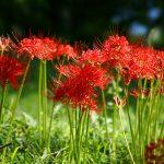リコリスの育て方 球根からの育て方から、来年も咲かせる方法を紹介します