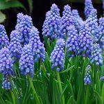 ムスカリの育て方 球根からの育て方から、来年も咲かせる方法を紹介します