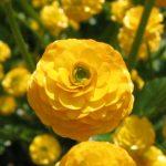 ラナンキュラスの育て方 球根からの育て方から、来年も咲かせる方法を紹介します