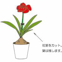 花が終わったら、花を茎の根元から切ります