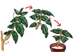 コーヒーの木の増やし方