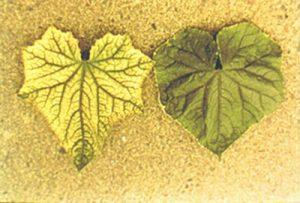 窒素が欠乏した葉の状態
