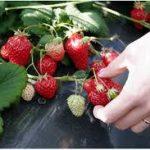 イチゴの育て方について 上手に美味しく育てるコツを紹介します
