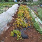 ジャガイモの育て方について 美味しく元気に育てるコツを紹介します