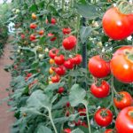 トマトの育て方について 美味しく元気に育てるコツを紹介します