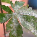 灰色かび病の原因や症状について 感染前の予防方法・お勧めの治療方法(農薬)について紹介します