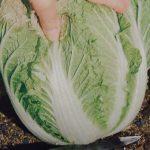 白菜の育て方について 美味しく元気に育てるコツを紹介します