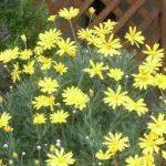 ユリオプスデージーの育て方について 肥料の与え方・増やし方・きれいに咲かせ方・病害虫対策など、元気に育てるコツを紹介します