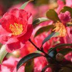 山茶花(サザンカ)の育て方について 肥料の与え方・剪定の仕方・増やし方・病害虫対策など、キレイに咲かせ元気に育てるコツを紹介します