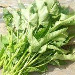 空心菜の育て方について 上手に美味しく育てるコツを紹介します