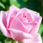 バラの育て方について 肥料の与え方・剪定の仕方・病害虫対策など、キレイに咲かせ、元気に育てるコツを紹介します