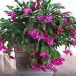 シャコバサボテンの育て方について キレイに咲かせ、元気に育てるコツを紹介します