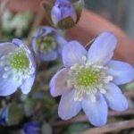 雪割草の育て方について キレイに咲かせ、元気に育てるコツを紹介します