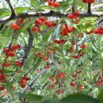 サクランボの育て方について 肥料の与え方・剪定の仕方・病害虫対策など、美味しく、元気に育てるコツを紹介します