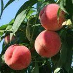 桃の育て方について 美味しく、元気に育てるコツを紹介します
