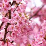 サクラの育て方について 肥料の与え方・剪定の仕方・病害虫対策など、キレイに咲かせ、元気に育てるコツを紹介します