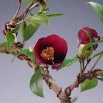 椿(ツバキ)の育て方について 肥料の与え方・剪定の仕方・増やし方・病害虫対策など、キレイに咲かせ元気に育てるコツを紹介します