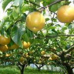 梨の育て方について 上手に美味しく育てるコツを紹介します