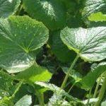 畑わさびの育て方について 肥料の与え方・病害虫対策など、上手に美味しく育てるコツを紹介します