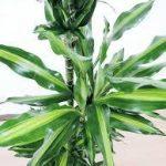 ドラセナ ジュレの育て方について 肥料の与え方・剪定方法・増やし方・病害虫対策など、元気に育てるコツを紹介します