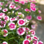 ナデシコ(ダイアンサス)の育て方について 肥料の与え方・増やし方・きれいに咲かせ方・病害虫対策など、元気に育てるコツを紹介します