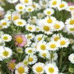 マーガレットの育て方について 肥料の与え方・増やし方・きれいに咲かせ方・病害虫対策など、元気に育てるコツを紹介します