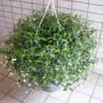 ブライダルベールの育て方について 肥料の与え方・増やし方・きれいに咲かせ方・病害虫対策など、元気に育てるコツを紹介します