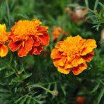 マリーゴールドの育て方について 肥料の与え方・増やし方・きれいに咲かせ方・病害虫対策など、元気に育てるコツを紹介します