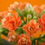カランコエの育て方について 肥料の与え方・増やし方・きれいに咲かせ方・病害虫対策など、元気に育てるコツを紹介します
