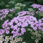 アキレアの育て方について 肥料の与え方・増やし方・病害虫対策など、元気に育てるコツを紹介します
