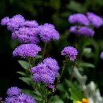 アゲラタムの育て方について 肥料の与え方・増やし方・病害虫対策など、元気に育てるコツを紹介します